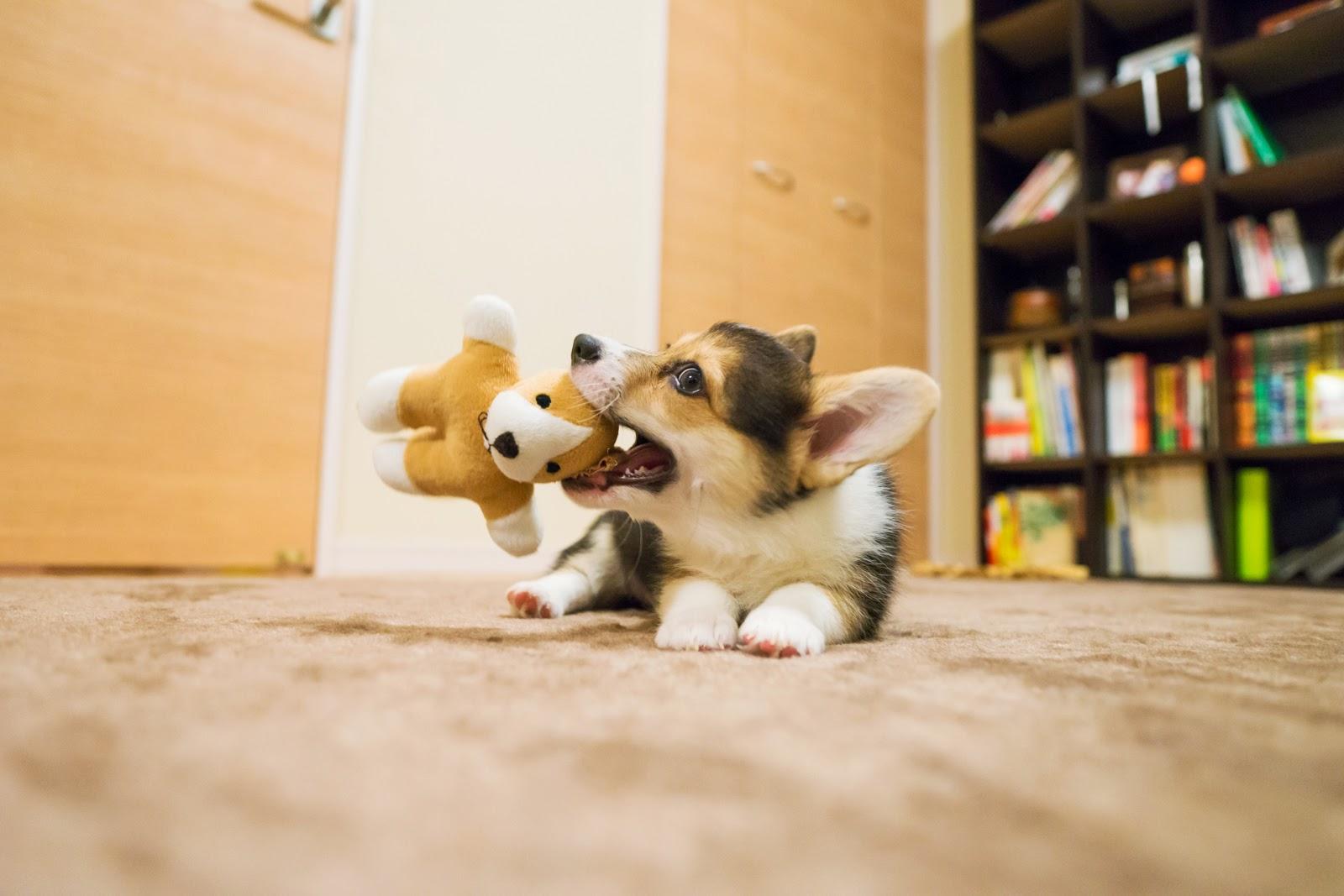 ぬいぐるみで遊ぶ子犬のコーギー