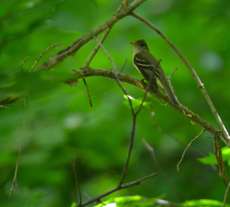 Acadian Flycatcher perched in a fully leafed-out tree. Green surrounds this cute bird.