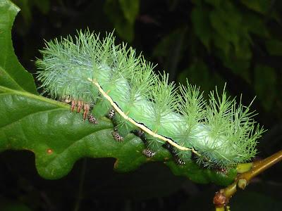 Automeris excreta caterpillar