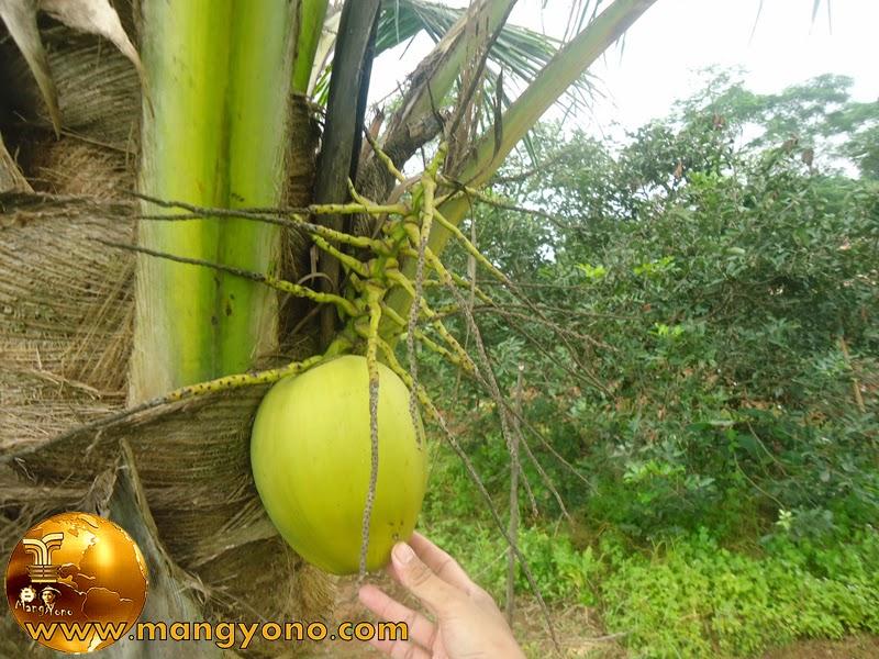 Menanam kelapa agar cepat berbuah dan lebat