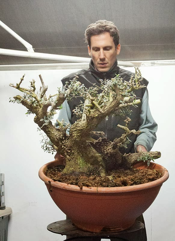 Walter 39 s travelogues intern bonsai academy in kastela for How to make an olive tree into a bonsai