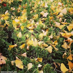 Hojas amarillas de gingko caídas sobre arbusto verde