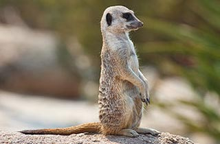 Meerkat Hewan Yang Lebih Manusiawi Dari Manusia