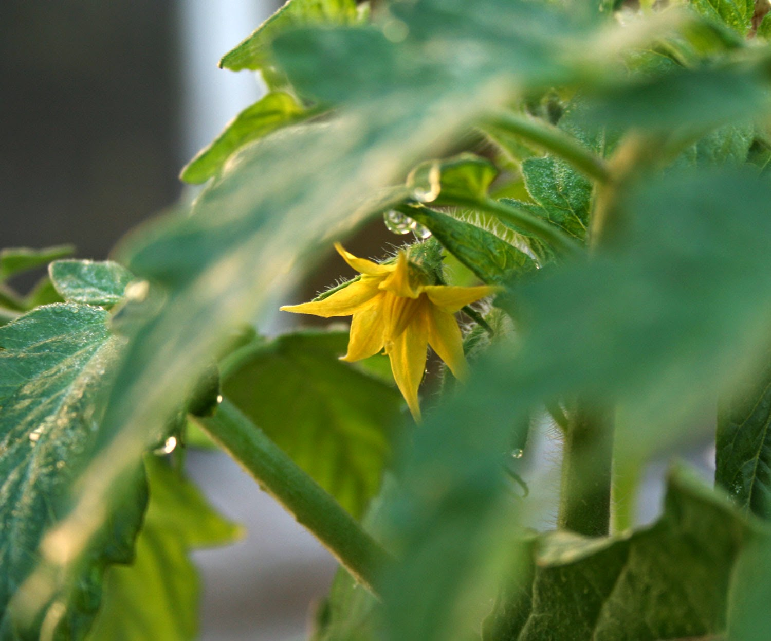 The first Tomato flower