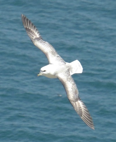 Fulmar