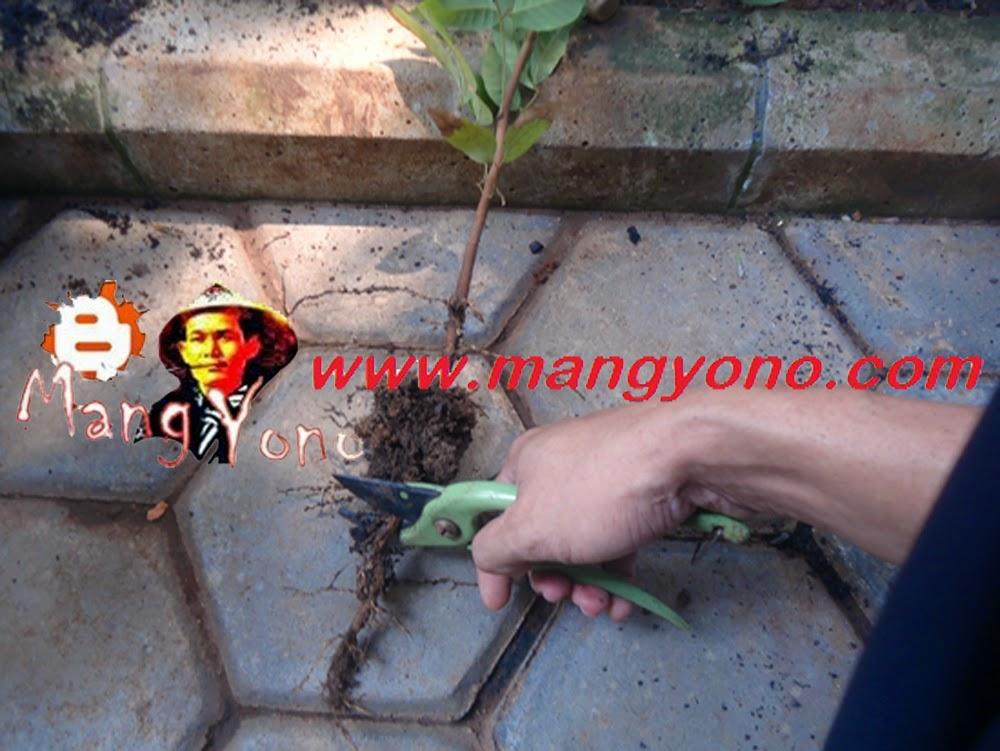 Potong akar yang memanjang kebawah