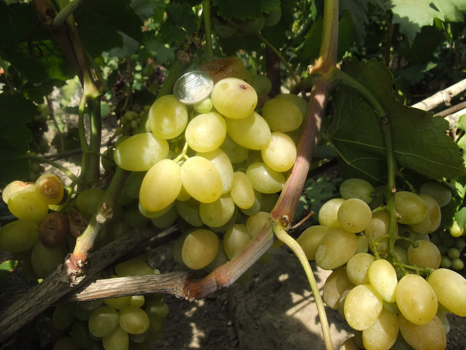 Виноград валек фото описание