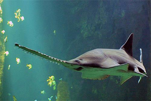 La loutre tous des requins for Comment dessiner un requin marteau