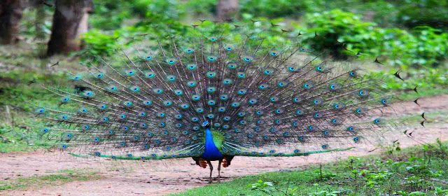 Beautiful animals and birds and peacock dancing at van vihar national park madhya pradesh