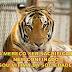 MENTIRA: Tigre que atacou criança não será sacrificado