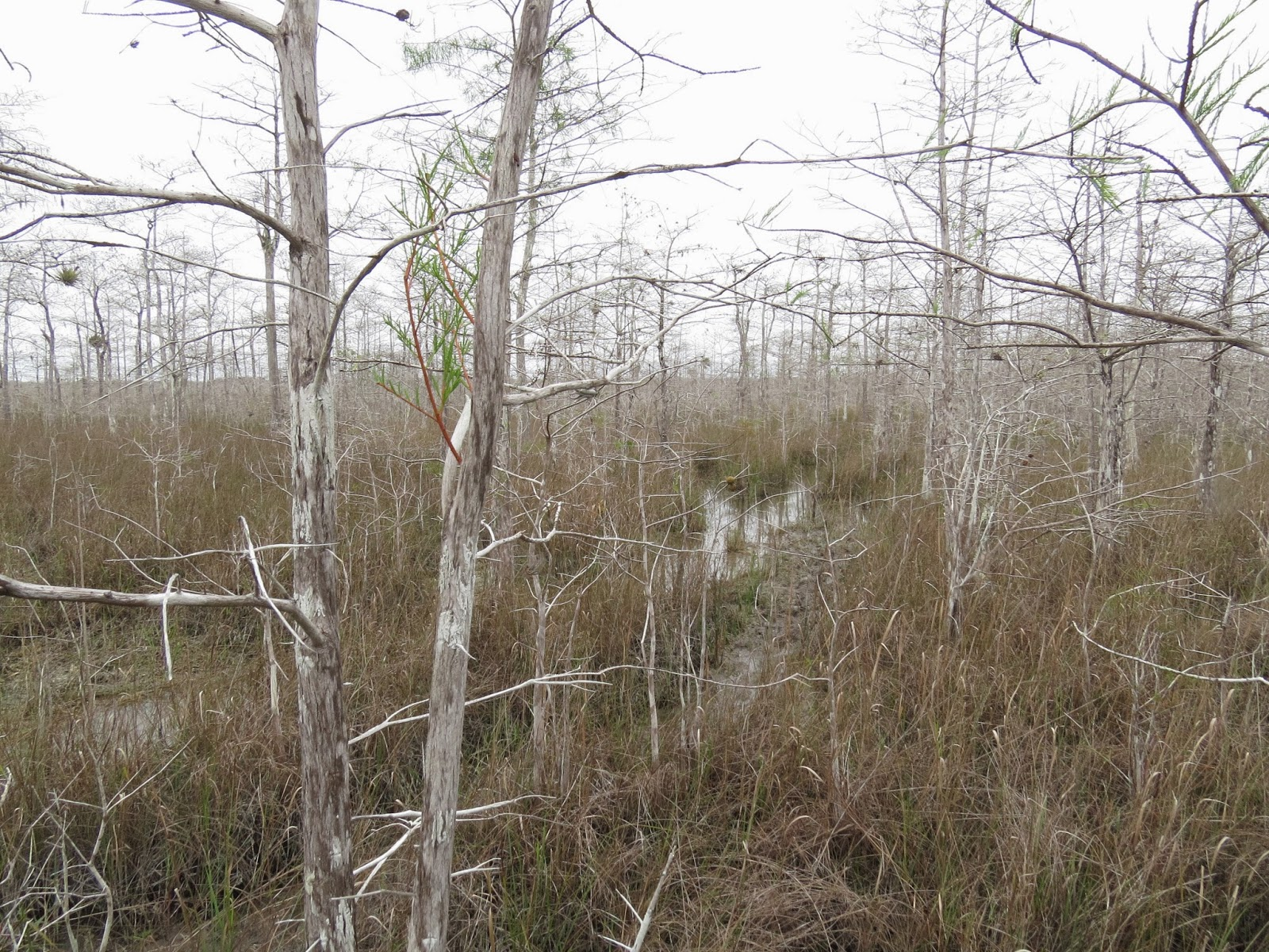 Big Cypress Swamp, viewed from the flooded Gator Trail