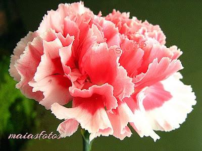Pink carnation-macro