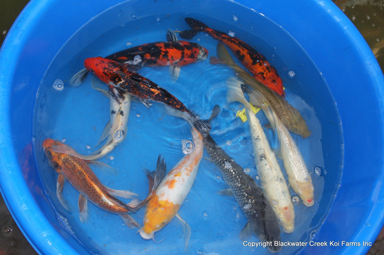 The blackwater blog for Koi hatchery
