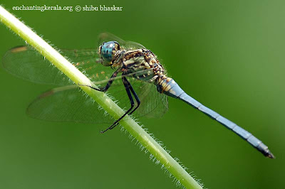 Photographing dragonflies