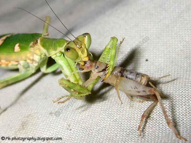 Praying Mantis Eating Spider