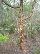 """Umburana - """"Pau de Abelha"""" - Proteger a umburana é conservar as abelhas nativas"""