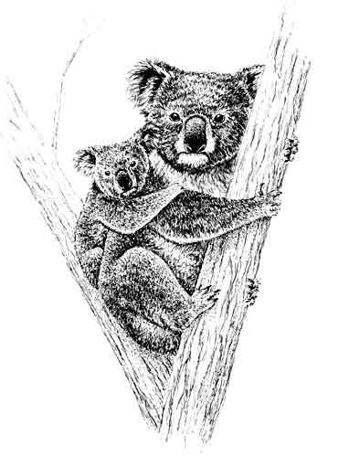 pen and ink koala art