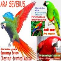 https://pt.wikipedia.org/wiki/Maracan%C3%A3-gua%C3%A7u