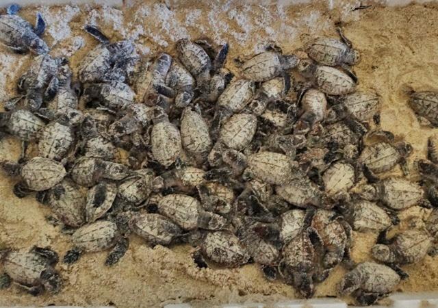 Tortugas recién nacidas