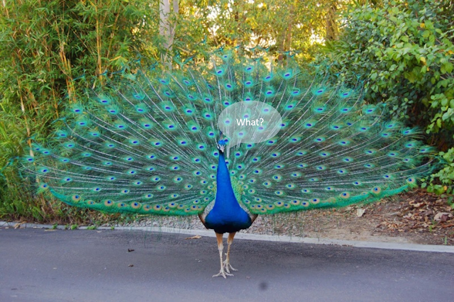 Peacock saying What