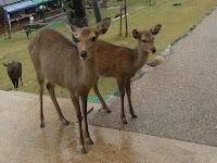 母鹿の傍らによりそってあるく子鹿