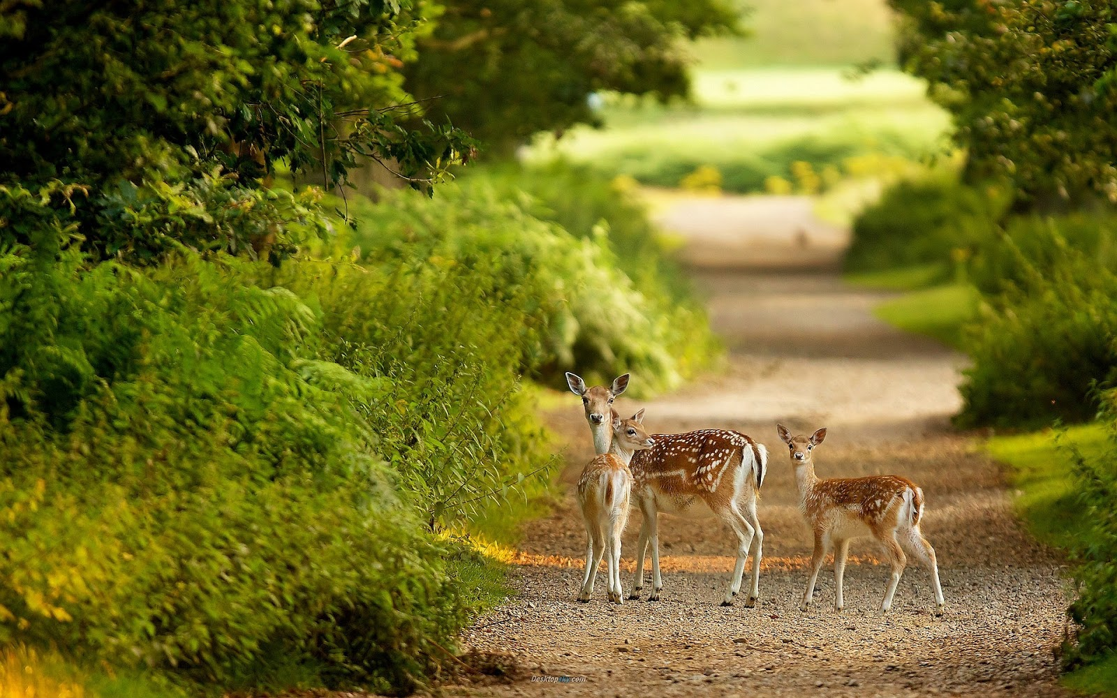 beautiful frog wallpaper download for free: beautiful deer animals
