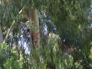 100 y old Eucalyptus