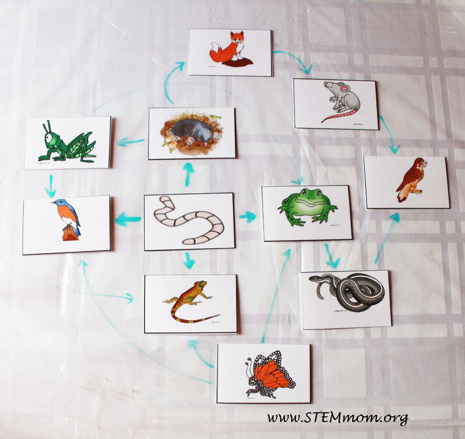 Sle food web free food chain activity cards from stemmom org