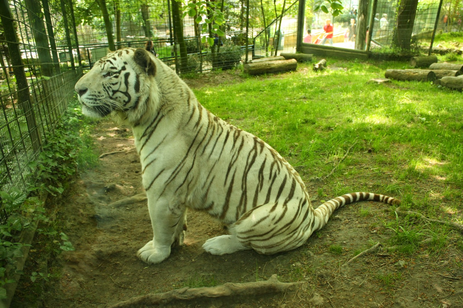 tigre beauval
