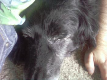 A sleeping Boo Boo dog - a senior flat-coated retriever