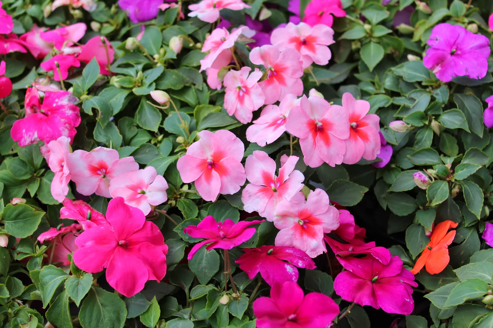 Pictures Of Impatiens Flowers Beautiful Flowers
