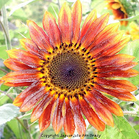 pretty autumn beauty sunflower blossom