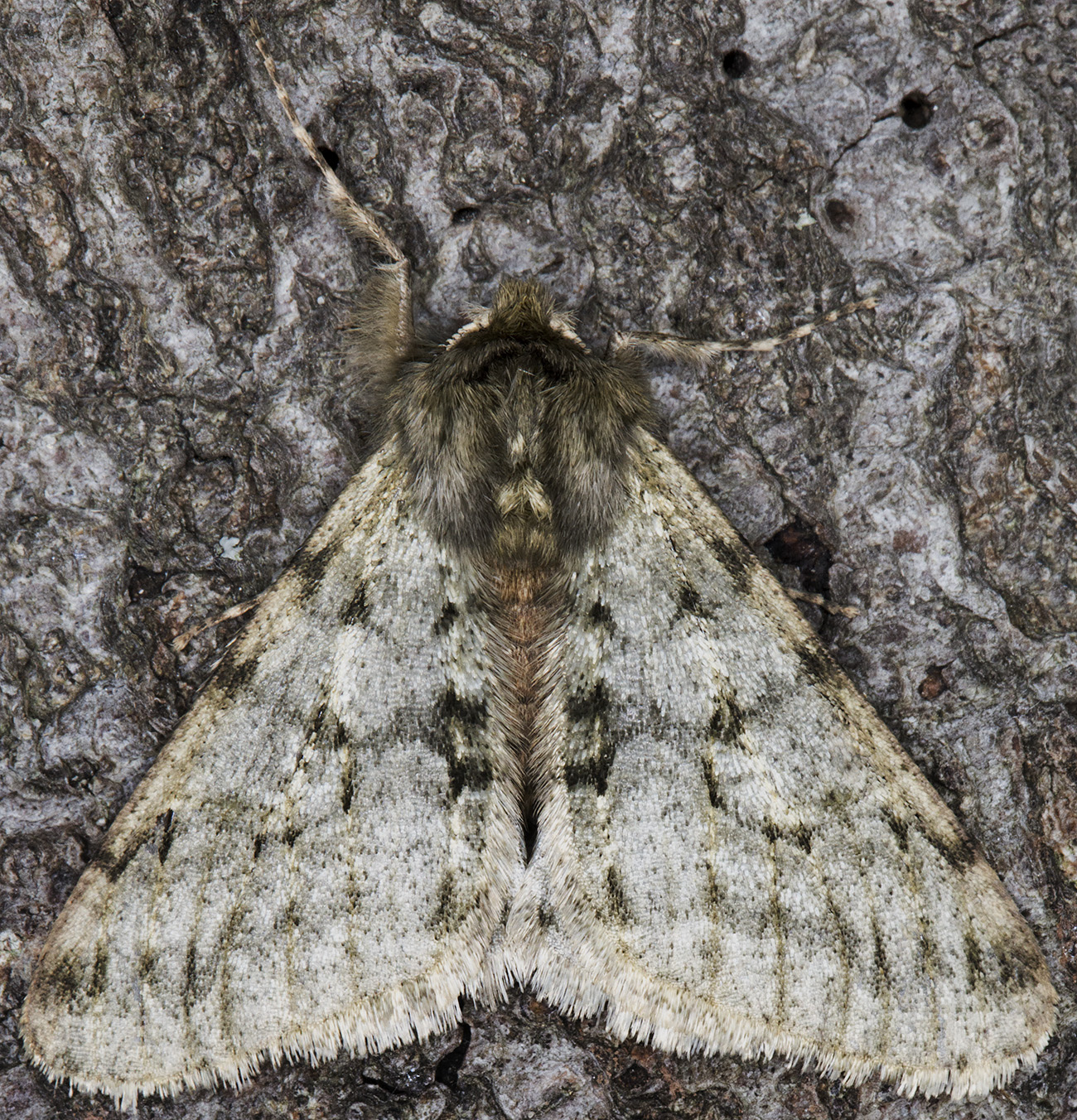 Pale Brindled Beauty,  Phigalia pilosana.  Hayes, 14 February 2015