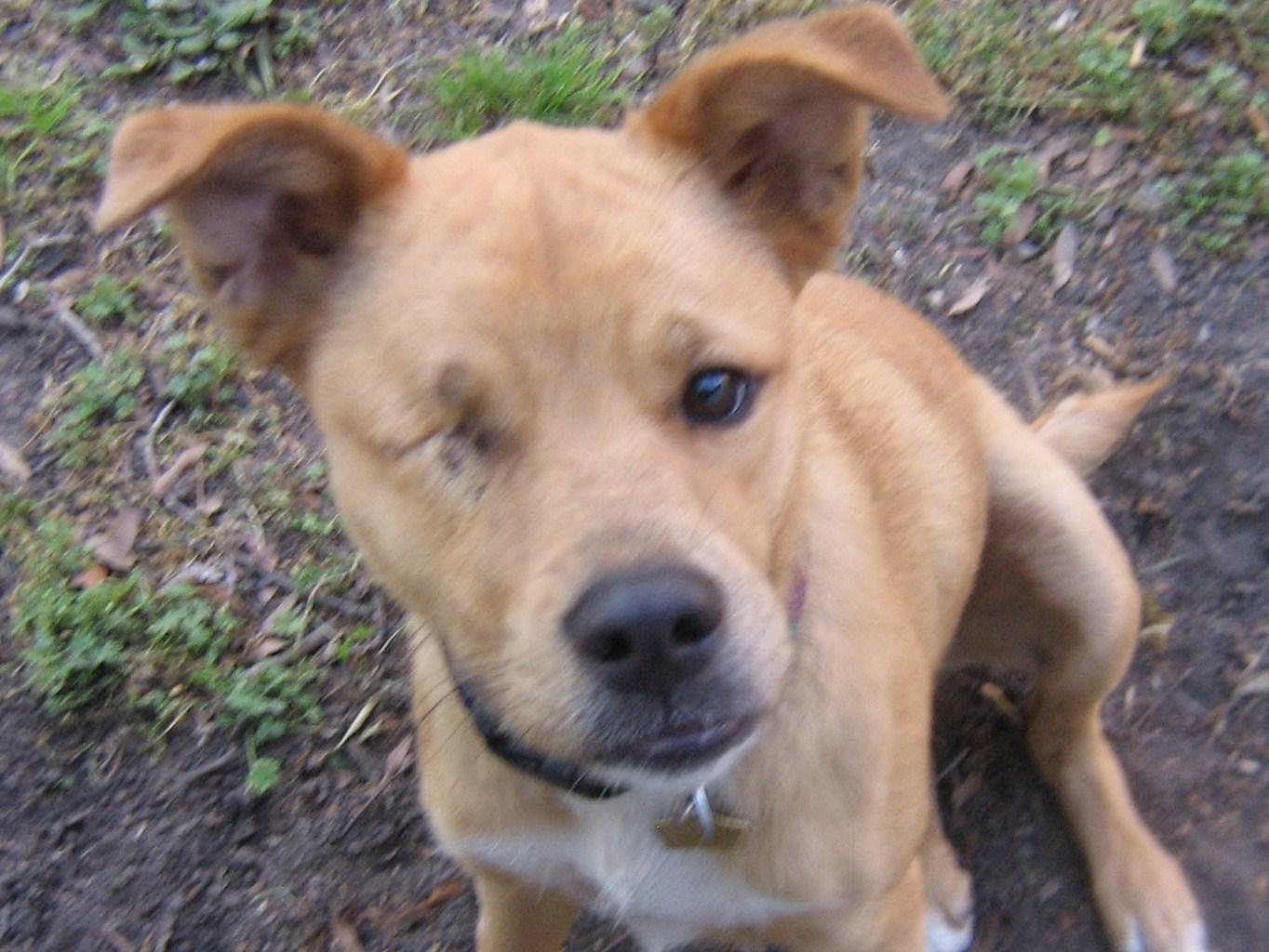 Boxer Husky Mix - Dog Training Home | Dog Types