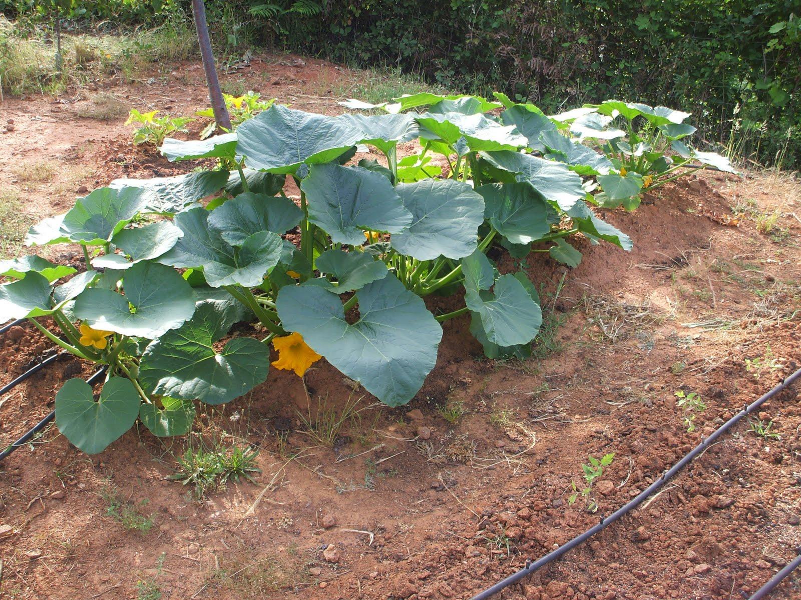 Cómo cultivar calabazas DSCF0376