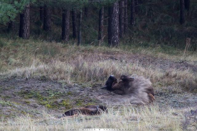 Wisent juveniel - European Bison juvenile - Bison bonasus