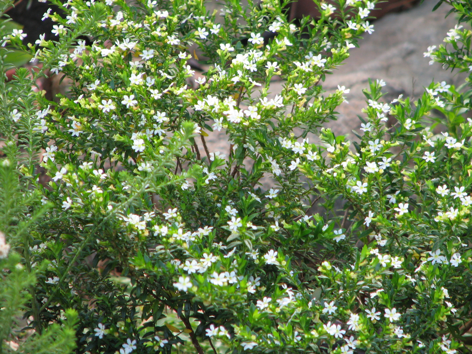 Bush bernies blog friday flower flaunt spring has sprung the tiny white flowers of the white cuphea hyssopifolia are on display all year round here and provide much needed colour at this dry time of year mightylinksfo
