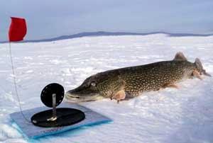 Как поймать щуку зимой на жерлицы