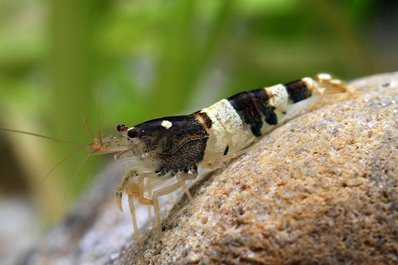 ... EXOTIC FISHES MUMBAI INDIA 9833898901: shrimps and lobsters for sale