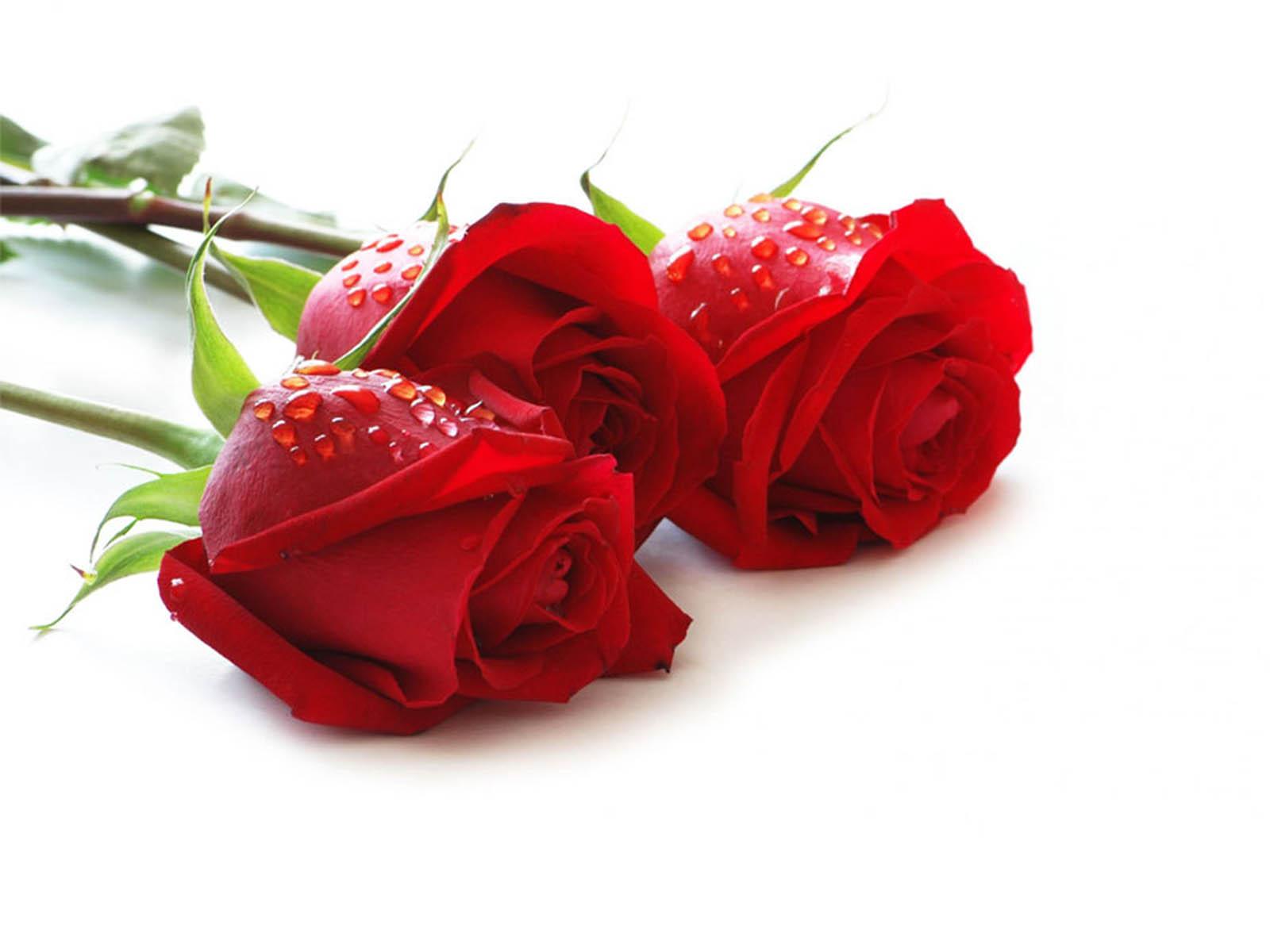 Beautiful 15 Single Red Rose Wallpaper HD 2016 Images