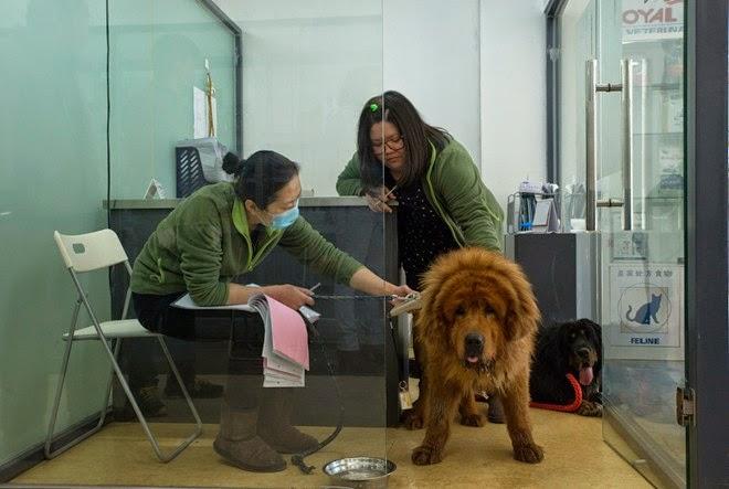 Nhân viên y tế trong Trung tâm Dịch vụ Thú y Quốc tế kiểm tra cơ thể của chó ngao Nibble sau khi những người bảo vệ động vật cứu nó cùng hàng trăm con chó khác từ một xe tải hồi đầu năm 2015. Ảnh: New York Times