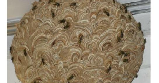 pr vention des accidents domestiques comment d truire un nid de gu pes. Black Bedroom Furniture Sets. Home Design Ideas