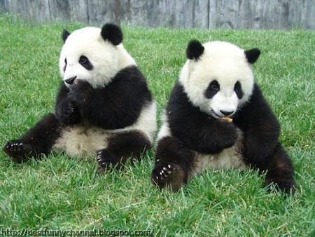 panda bears pictures 12