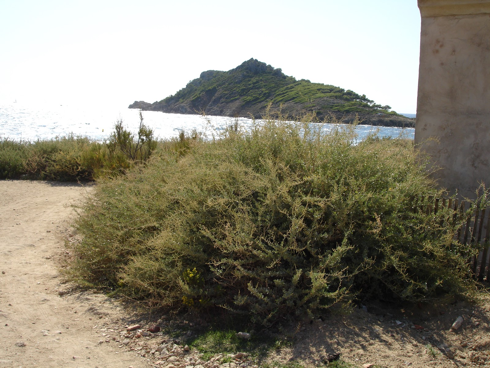 7 years in provence flora in august from plage to gigaro for Soil 2 year pgdm