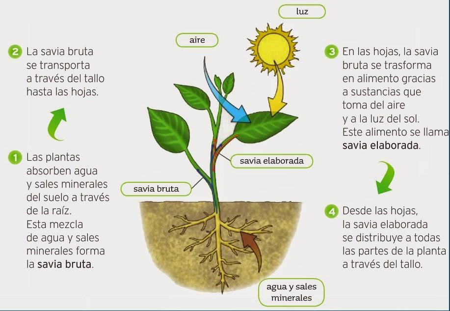 Peque os arquimedes la fotos ntesis for Para que se utilizan las plantas ornamentales