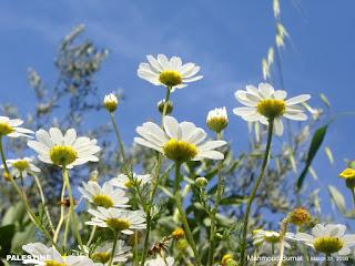 أقحوان, Chrysanthemums