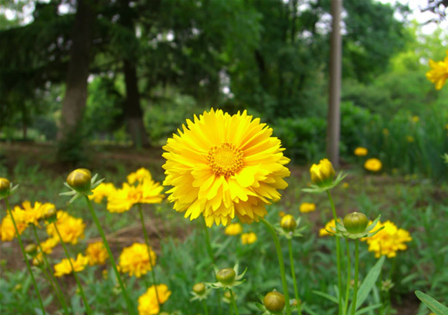 Coreopsis Flowers Pictures