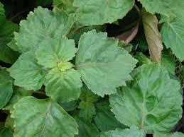 budidaya, nilam, cara, menanam, tanaman nilamm
