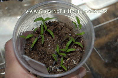 Tomato Seedlings in Plastic Cup Greenhouses