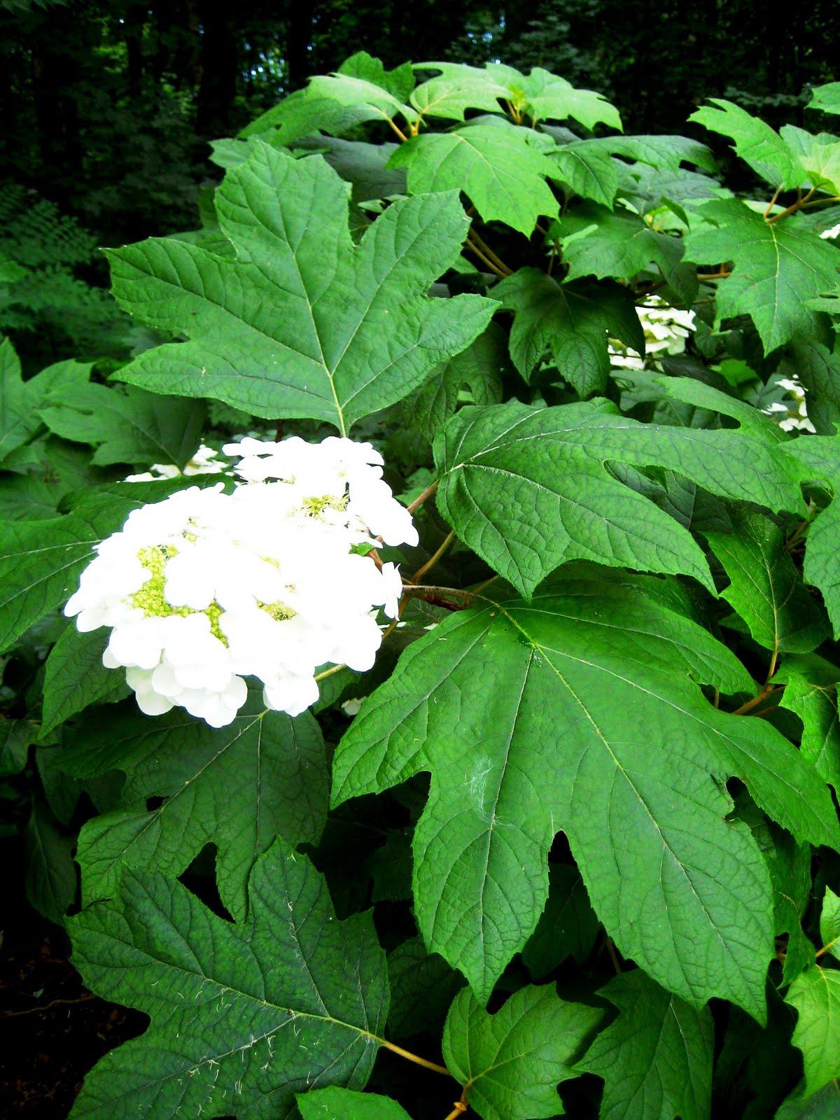 Long island 39 s garden girl happy hydrangeas part 1 pruning for Hydrangea quercifolia
